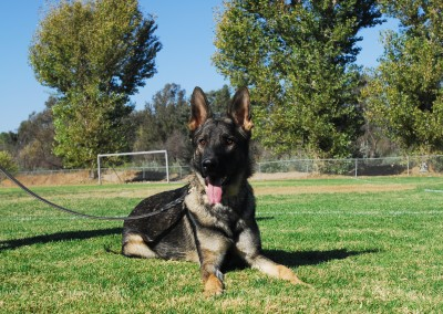 Taylor Made Working Dogs | 619-726-4813