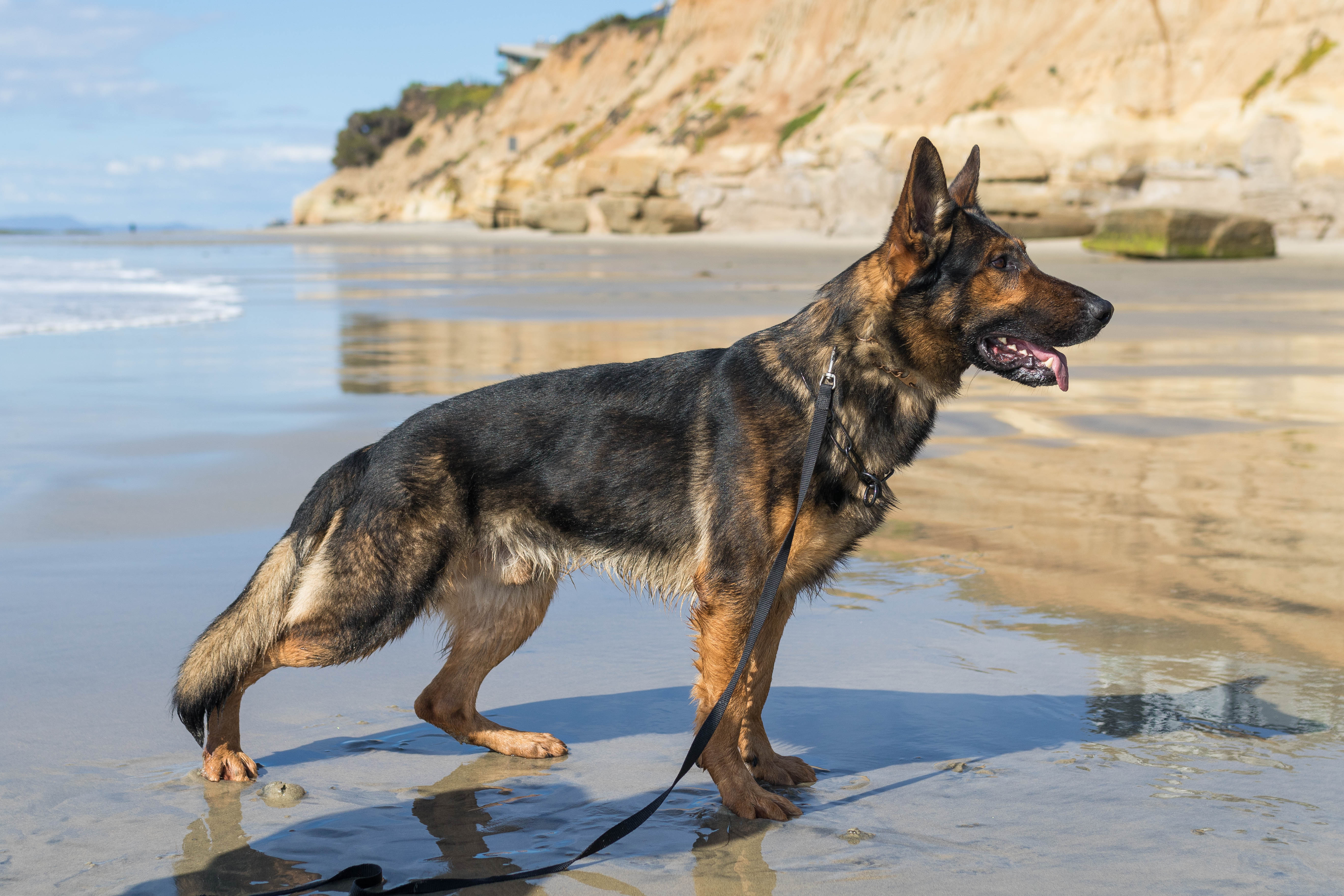 German Shepherd Trained Dogs For Sale California